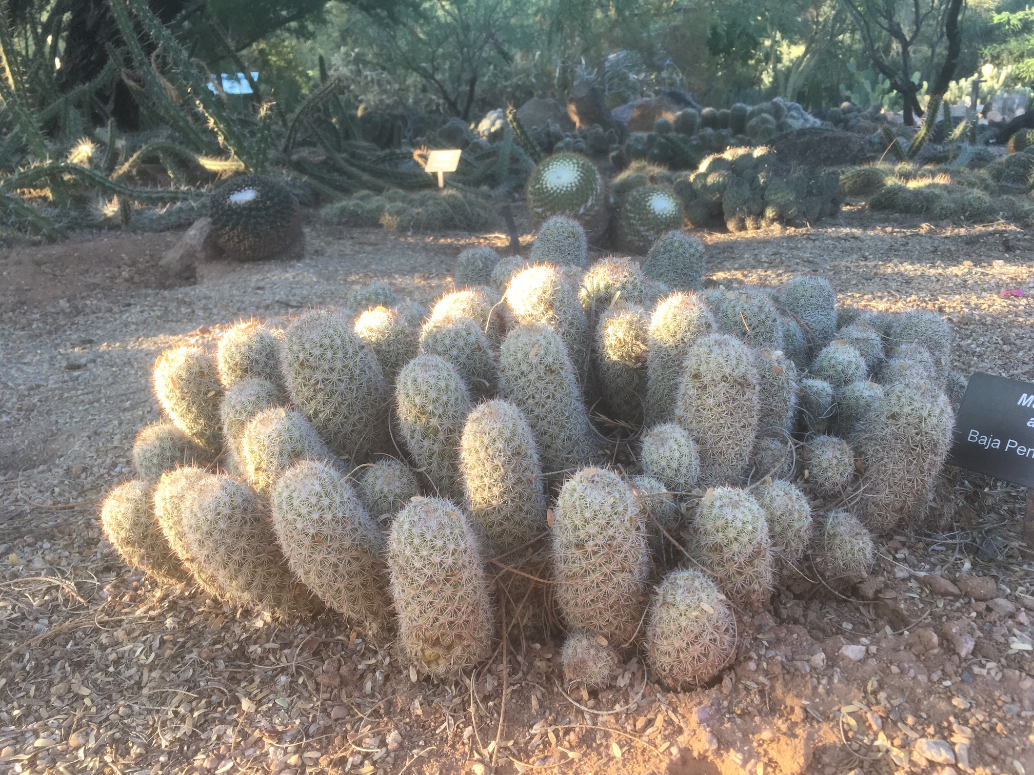 Eggs-like Cactus